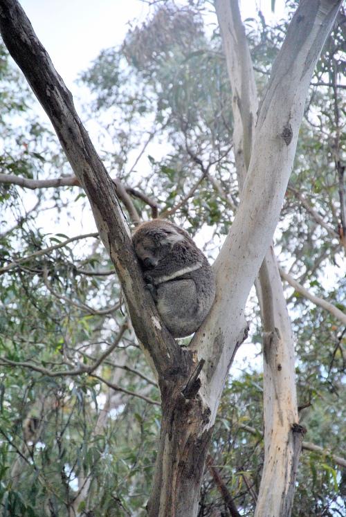 旅途上的动物 澳洲●无尾熊