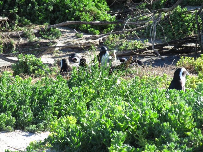 旅途上的动物  南非●企鹅