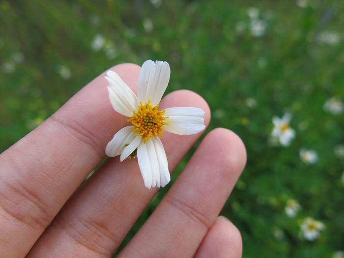 其实,它是野菊花。