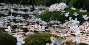 台湾·油桐花