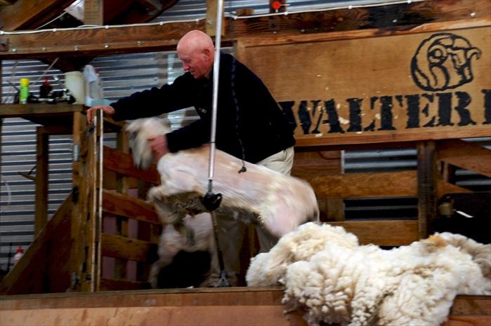 被剃得光溜溜的绵羊。