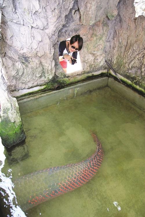 看到巨龙鱼的尾巴可以想像它有多巨大了吗?