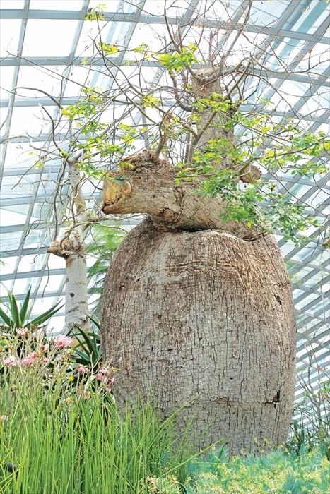 波巴布树的木质部像多孔的海绵,能吸收储存大量的水分,曾为热带干旱的草原上的人们提供救命之水。