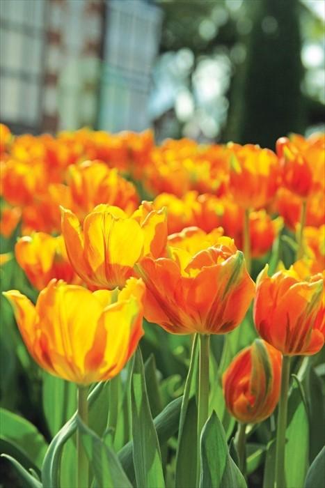 不同颜色的郁金香代表着不同的含义,黄色郁金香象征高雅和珍贵。
