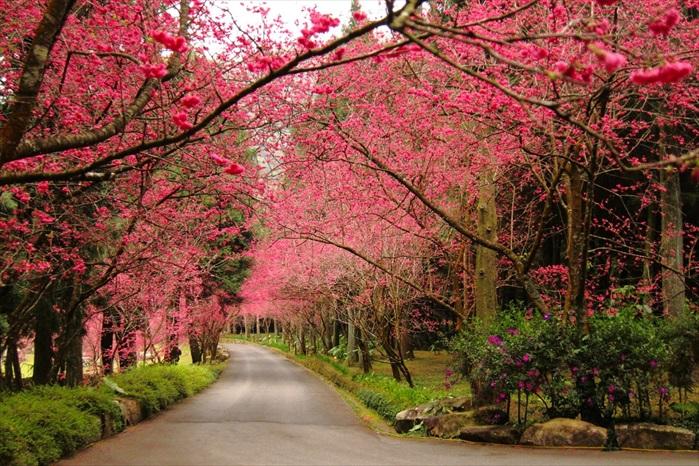 来到了春季,桃红色的樱花为这里带来浓烈的喜气氛围。