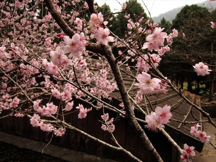 虽说这里的樱花主要是桃红色,但也有淡粉红色的品种哟!