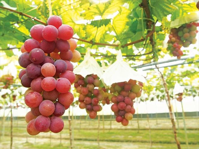 葡萄成熟时微醺小旅行 台湾紫宝石——彰化
