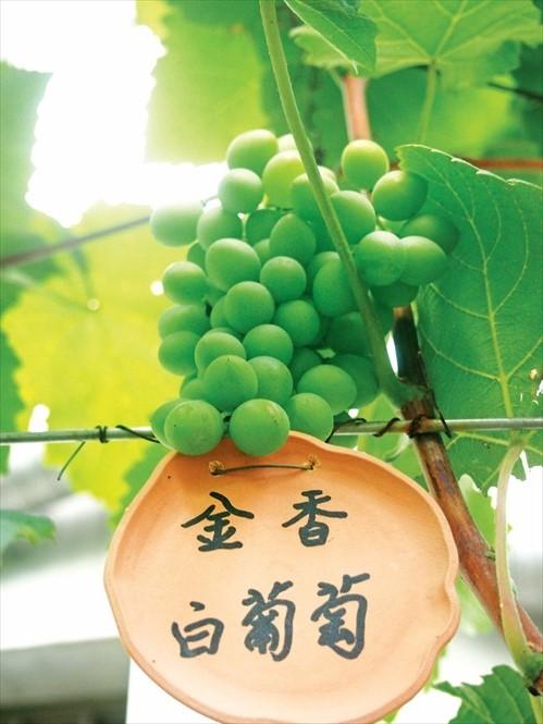 这就是金香葡萄,用来酿酒的品种。