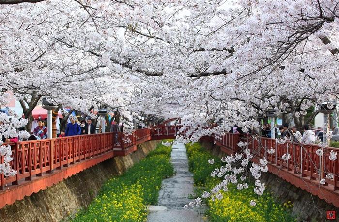 在韩国赏樱的方式、意境,自成一格。