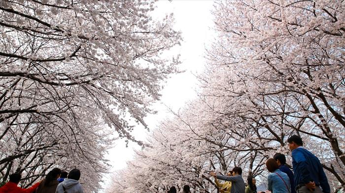 樱花树还要再努力一些,才能把天空遮住哟!