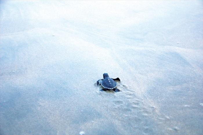 放生小海龟时间到啦。小海龟:我爬我爬,爬到大海家找妈妈。