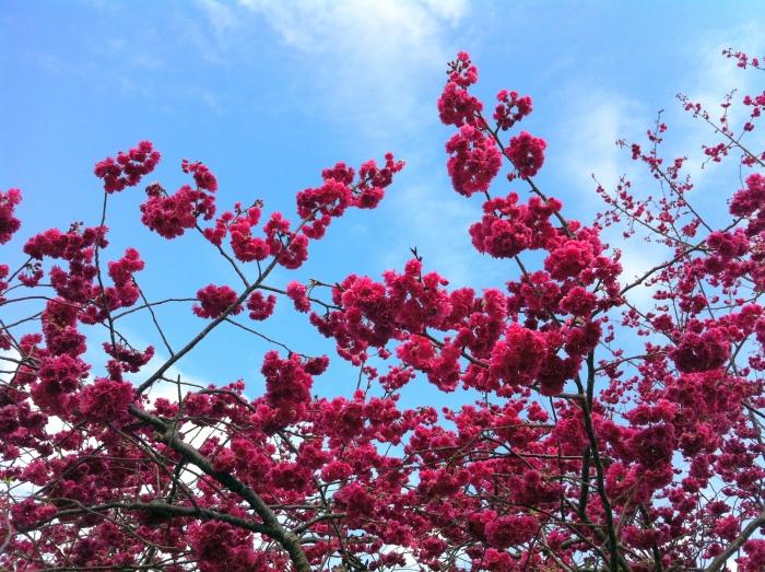 赏樱很仰赖天气状况,有时候一场大风、大雨,就会让樱花全数脱落。