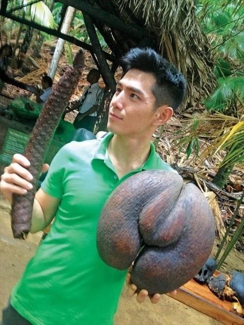 Coco-de-Mer海椰子造型独特,还有雌雄之分,雌性的相似女性臀部,雄性的则像男性生殖器官。