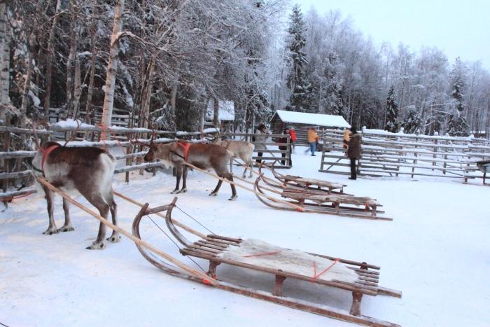 驯鹿拉雪橇