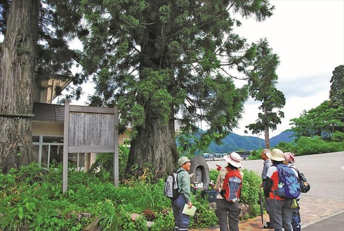 美女平最有名的杉树——美女杉树,被当地人虔诚供奉着。