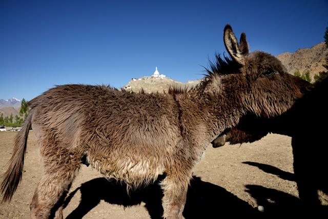 在酒店附近的小牧场巧遇可爱的驴子