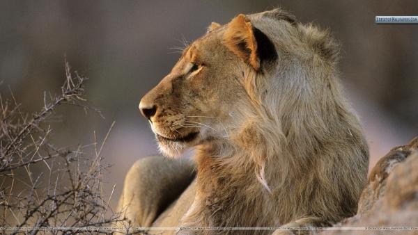 African-Lion-Kruger-National-Park-South-Africa
