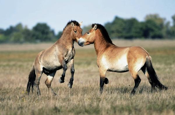 wild_horses__hortobagy_national_park_hungary